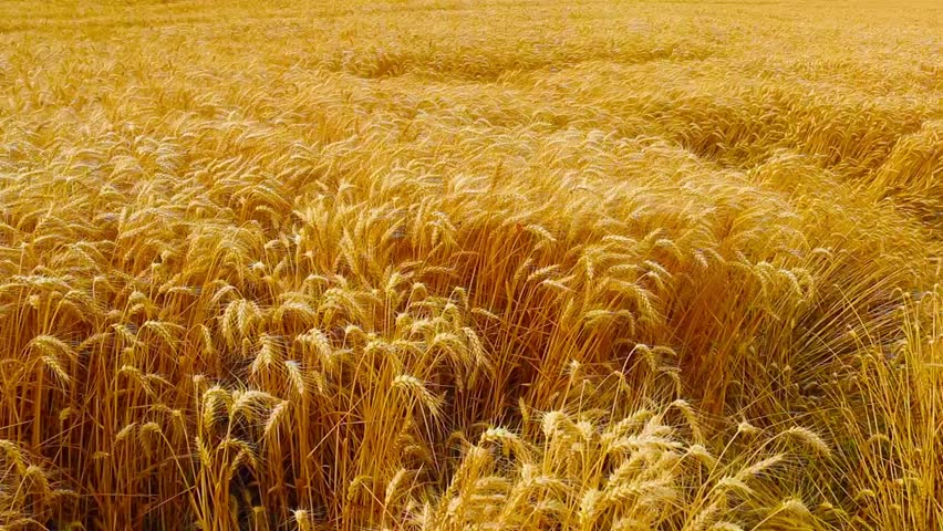 Wheat Blowing in Wind  - HD stock footage clip