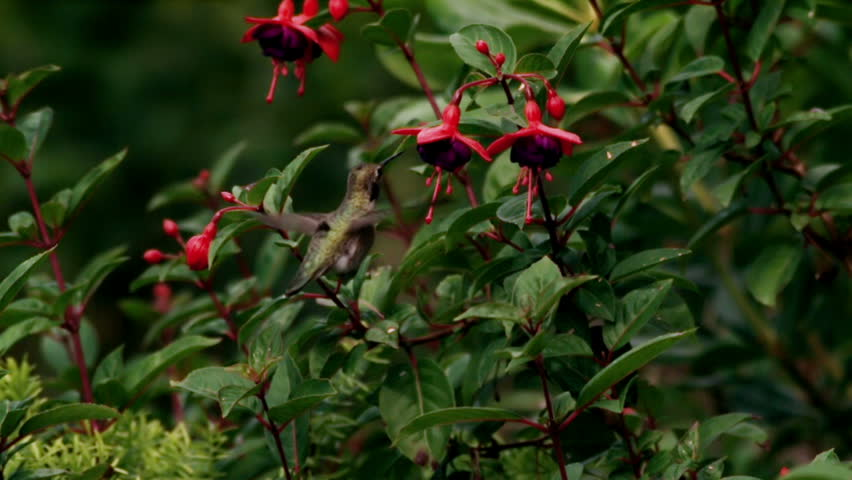 Annas Hummingbird Gathering Nectar from Fuchsia Flowers Close View  Super Slow Motion