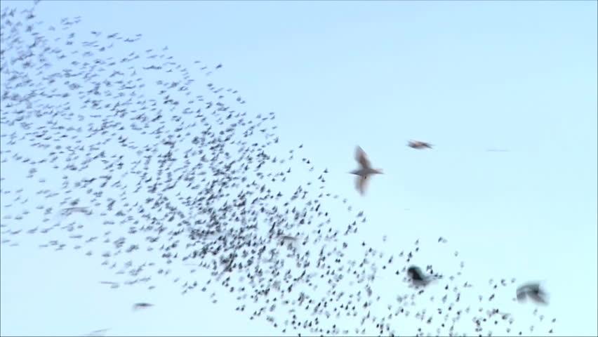 flock of birds - HD stock footage clip