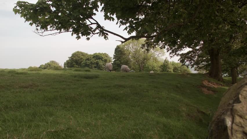 Sheep grazing in a Summer Meadow HD stock footage. Sheep eating the grass in a summer meadow nature scene. Blackmagic Cinema Camera RAW.