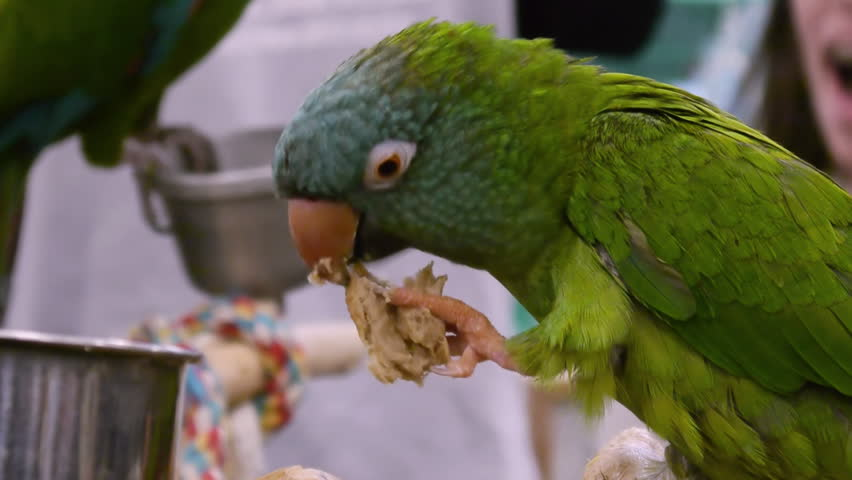 Blue Crowned Parrot Eating Bread  - HD stock video clip
