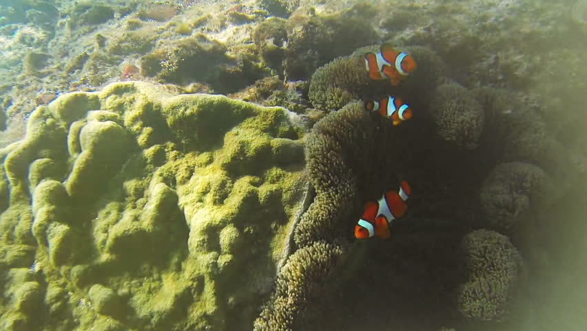 Clownfish and Sea Anemone in Philippines