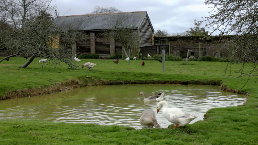 Static medium wide shot of free range geese and chickens living in harmony at a farm with an old wooden shed to sleep in, a field of grass to peck in and a pond to swim in. - HD stock footage clip