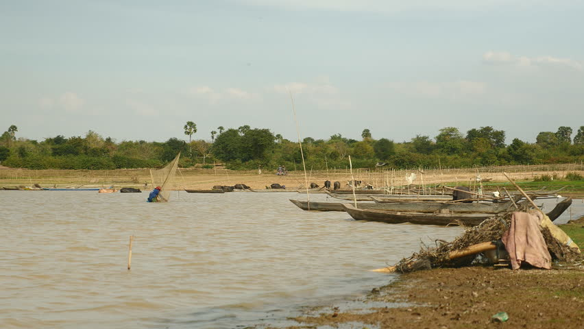 Shrimp fisherman catching shrimp with a large net in a lake   while a herd of buffaloes go out the water on the background, southeast asia, cambodia fishing