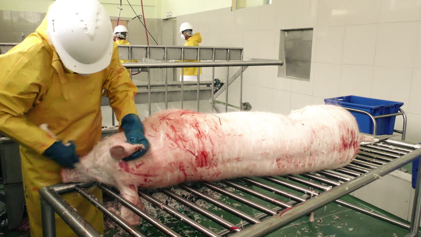 Scraping a pork carcass by hand in a slaughterhouse sanitized environment