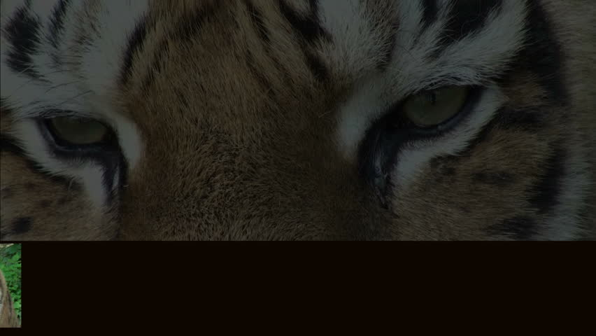 montage with siberian tiger #1111267