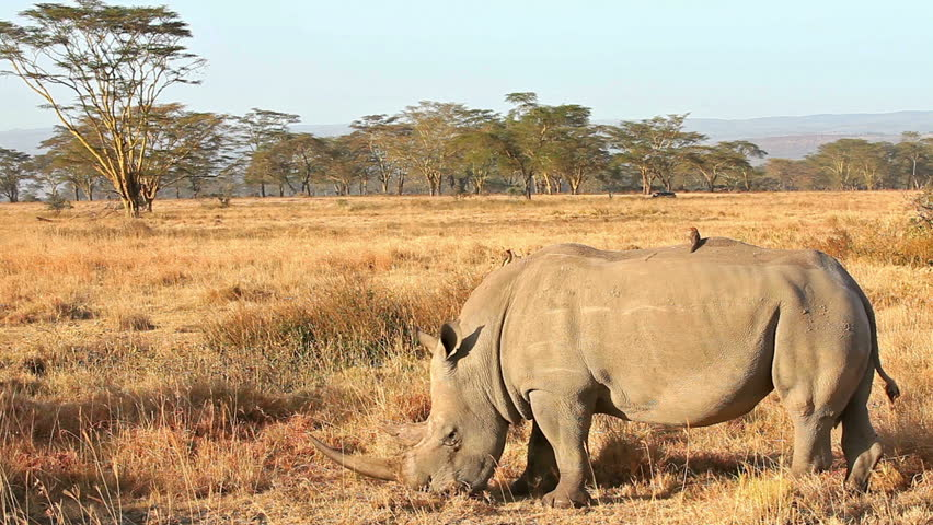 White rhinos in Nakuru Park in Kenya during the dry season