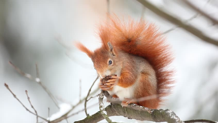 Cute orange red squirrel eats a nut in winter scene with snow - HD stock video clip