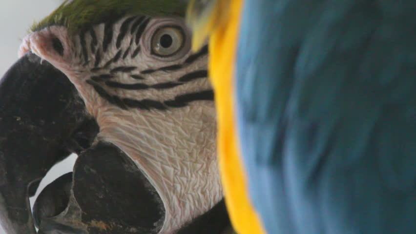 Blue-and-yellow Macaw  | Shutterstock HD Video #1172143