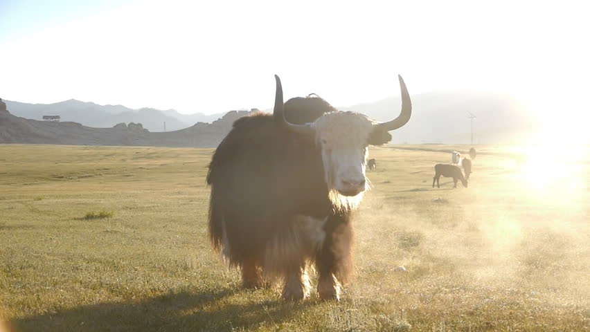 Yak. Cattle grazing in the steppe