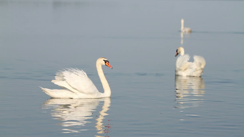 White swans on the water - HD stock video clip