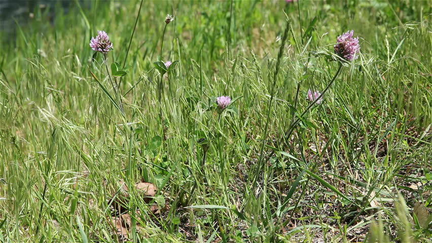 Grass in wind - HD stock video clip