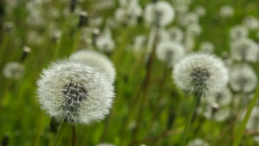 White dandelion swayed slightly in the wind - HD stock footage clip