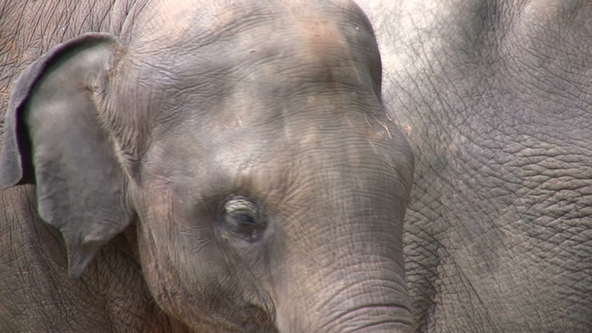 Lonely elephants closeup. - HD stock footage clip