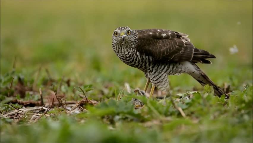 Header of Accipiter nisus
