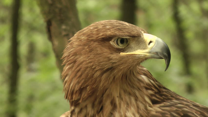 Eagle. - HD stock footage clip