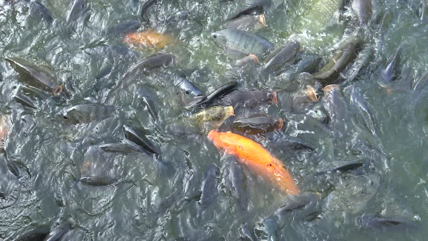 Coy carp and gold fish on surface of pond natural for Coy carp pond