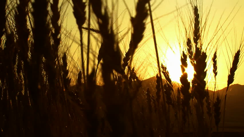 harvesting wheat field sunset ( series 3 version 7 ) - HD stock footage clip