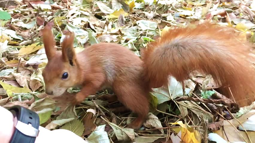 A red squirrel eats the nuts with hands in the forest in slow motion close up shot. - HD stock footage clip