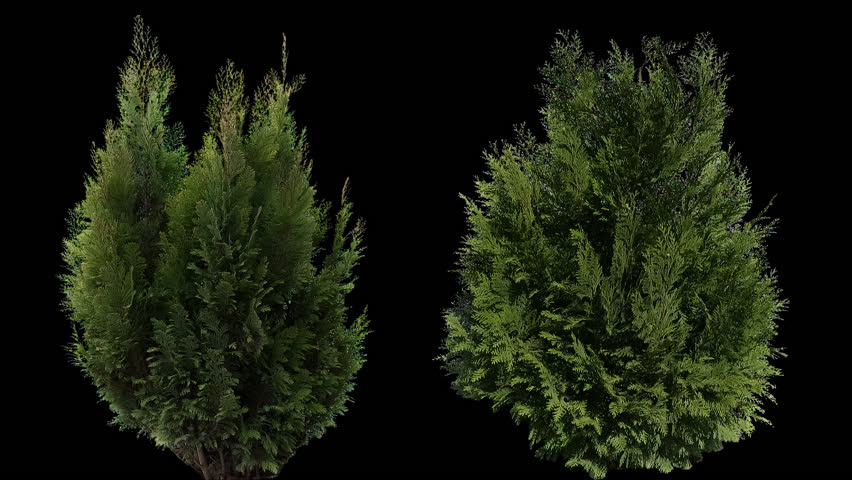High quality 10bit footage of coniferous plants on the medium wind with Alpha Channel. Made from RAW footage.