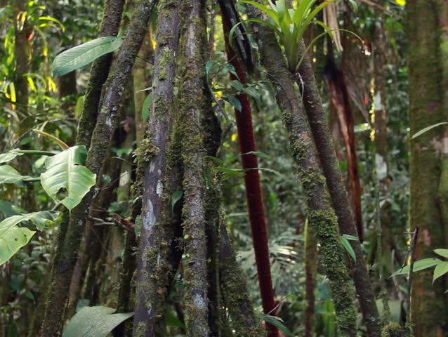 Mossy stilt roots of the palm Iriartea deltoidea in rainforest, Ecuador - SD stock video clip