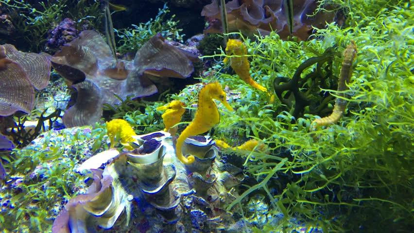 Underwater 4K UHD video of beautiful sea horses in deep, blue sea