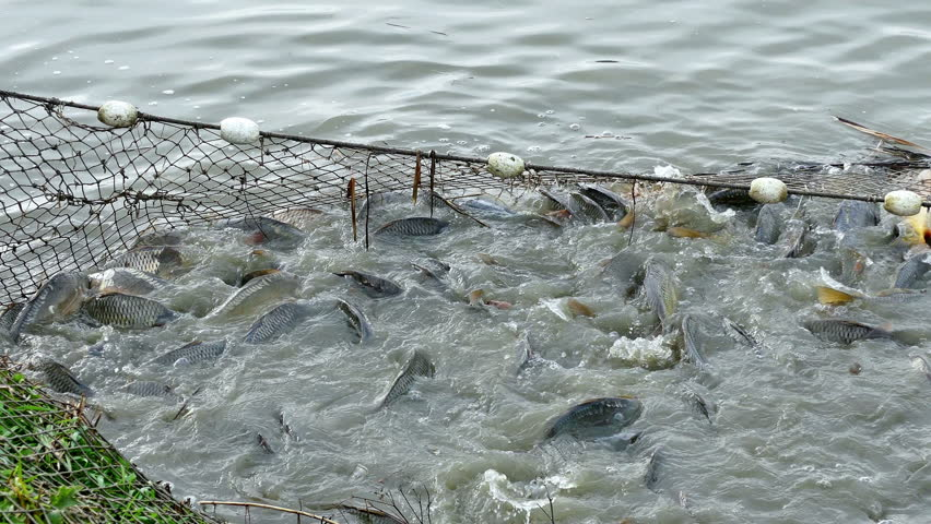 Carp fish in pond fishing net full of carp caught in for Illinois fish farms