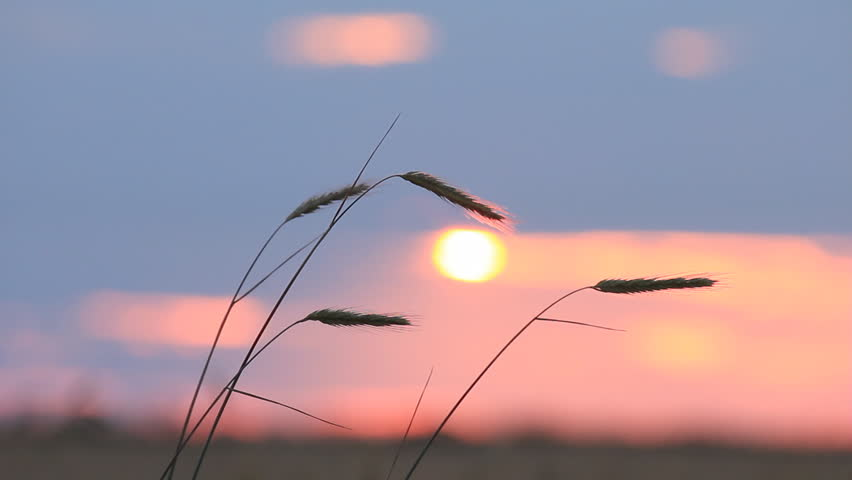 Closeup of wheat ears on breeze, red sunset sky - countryside landscape background - HD stock footage clip