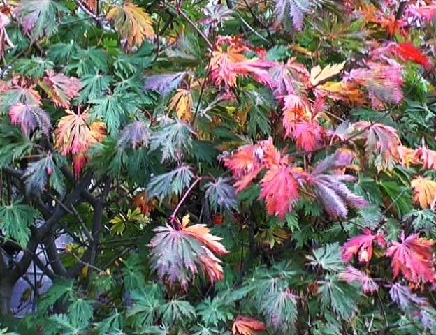 Header of Aceraceae