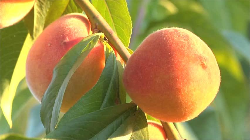 peach on a tree, three frames - HD stock footage clip
