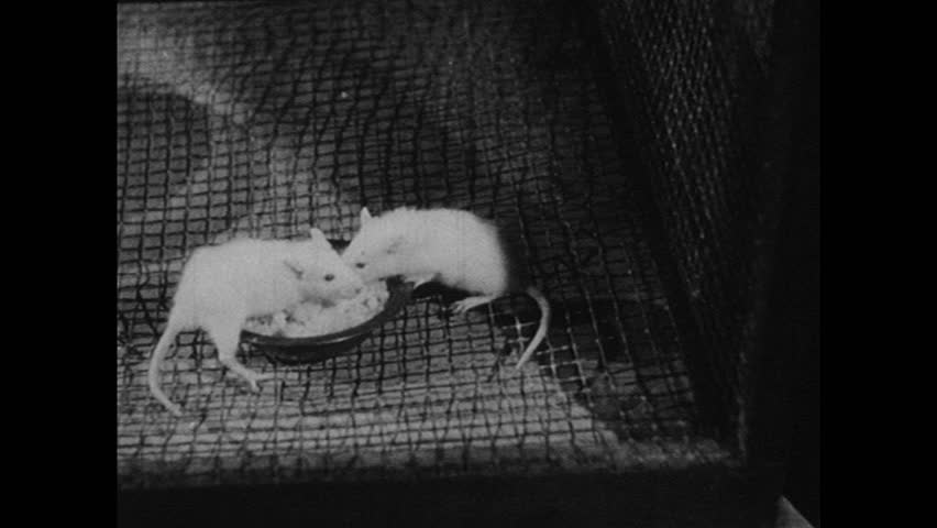 UNITED STATES 1940s: Rats in cage / Rats on podiums.