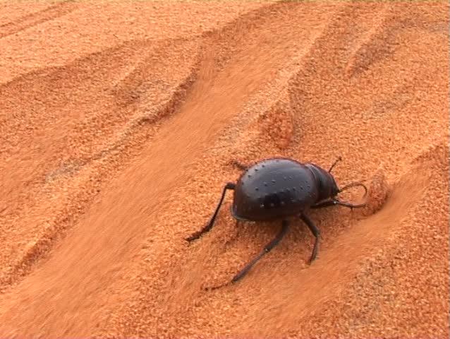 Black beetle in desert