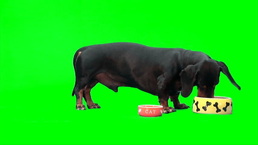 Black male dog (dachshund) eats from orange cat's (written 'CAT') plate and from big yellow dog's plate - HD stock footage clip