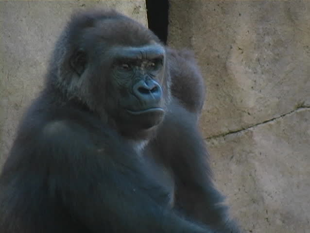 A Low-land Gorilla on the lookout as another gorilla appears. | Shutterstock HD Video #141202