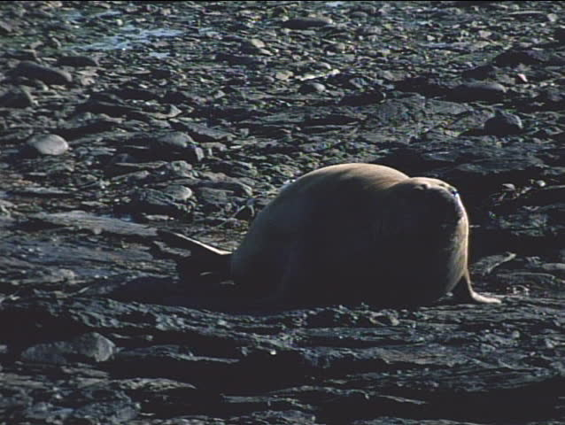 Elephant seals engage in a mating ritual on the Falkland Islands. - SD stock footage clip