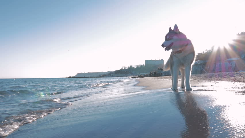 Siberian husky dog walking and running on sea...