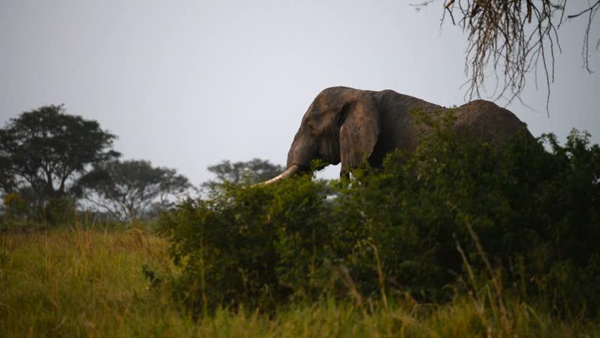 A wild African Elephant,Queen Elizabeth National Park,  Uganda, Africa. - HD stock video clip