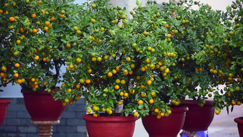 Kumquat or Fortunella, mandarin chinese tree in the garden  - HD stock footage clip
