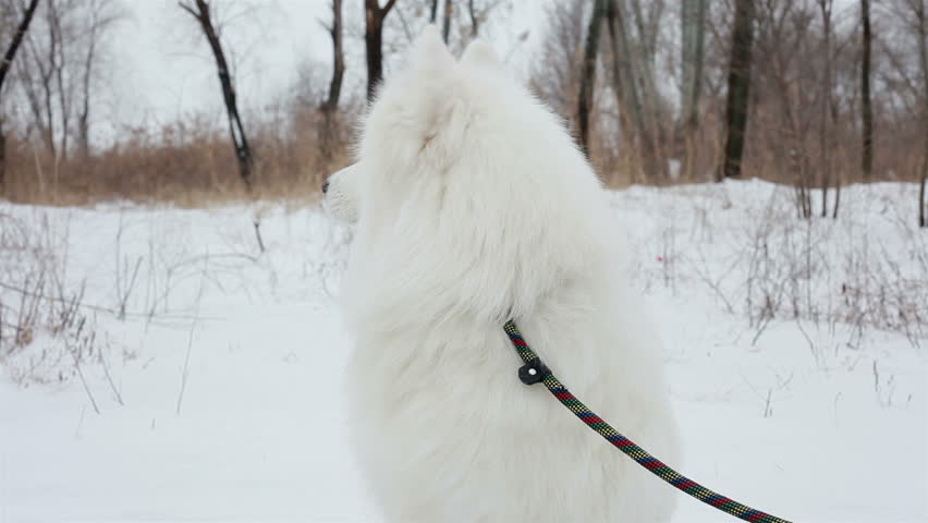 Close-up portrait Spectacular Slow Motion Close-Up Of White Dog And The Falling Snow. in the park, the Samoyed breed   Shutterstock HD Video #14391010
