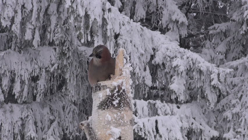 Eurasian Jay eating from a bird feeder made of old birch stump on overcast winter' day by fir tree forest - HD stock footage clip