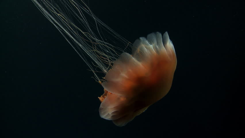 Aninimal Book: Jellyfish Stock Footage Video - Shutterstock
