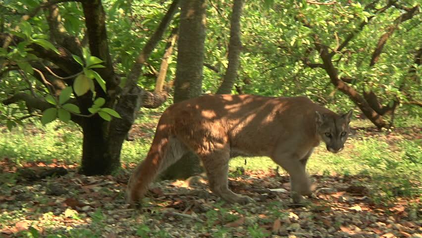Florida panther walking - HD stock footage clip
