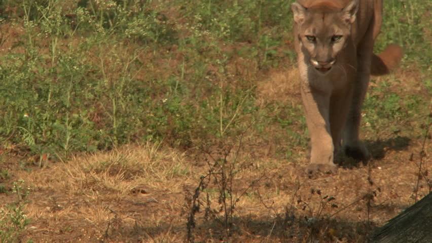 ECU - Florida panther walks past camera  - HD stock footage clip