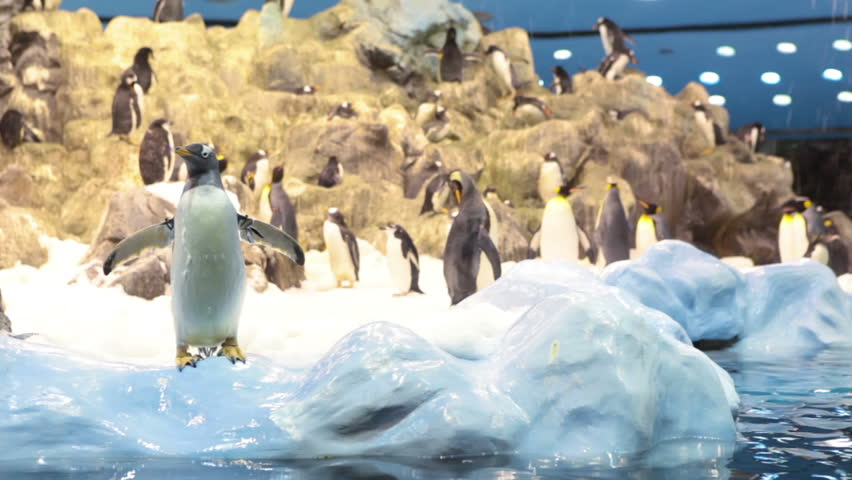 Natural living conditions with real snow, iceberg and cold sea water for king penguins in Penguin Planet in Loro Parque, Tenerife, Spain - HD stock footage clip
