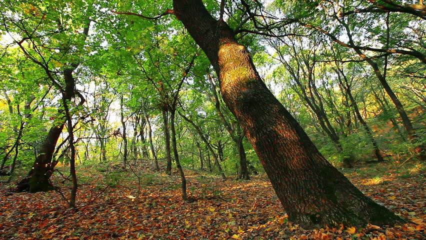 autumn forest - HD stock footage clip