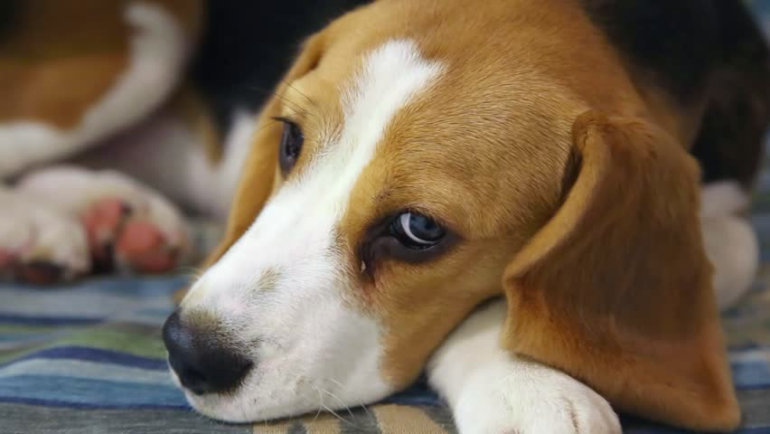 Tired 5 month old beagle puppy laying on sofa. Close up of face and legs. Child hand stroking head of cute dog pet. | Shutterstock HD Video #14602483