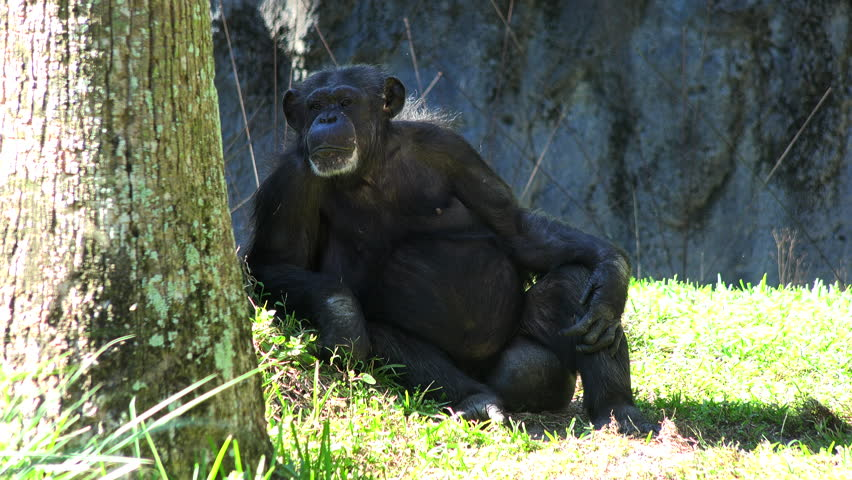 Funny Gorilla Male Sitting On Rock Hand Caring And