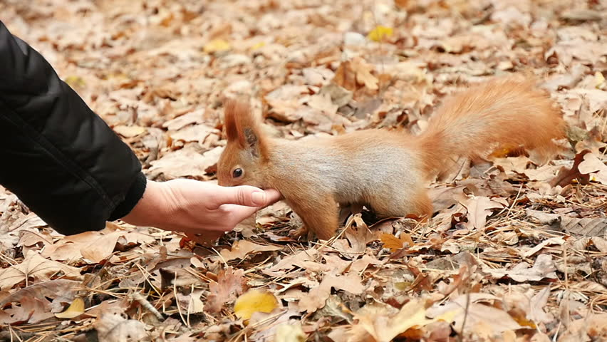 Boy feeds a squirrel nuts 1 | Shutterstock HD Video #14700358