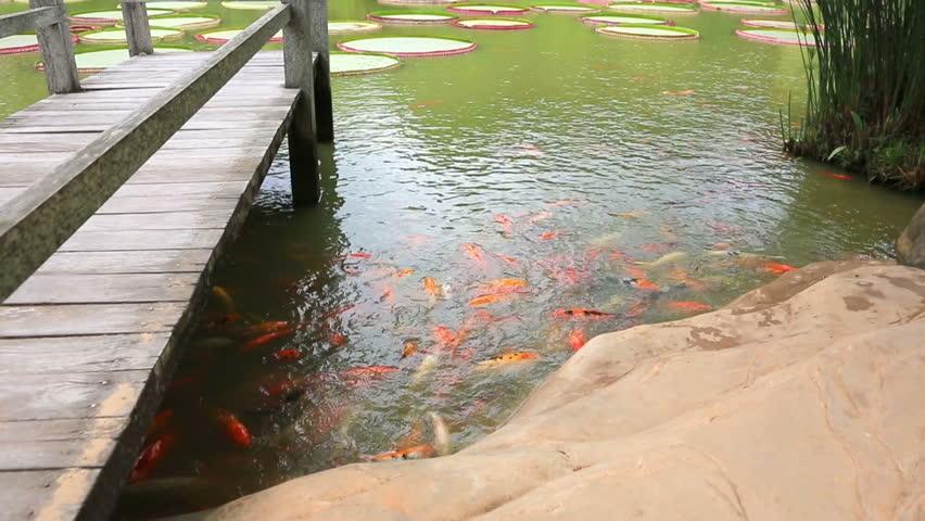Carps in the beautiful pond with Victoria Regia (Victoria Amazonica) - HD stock video clip