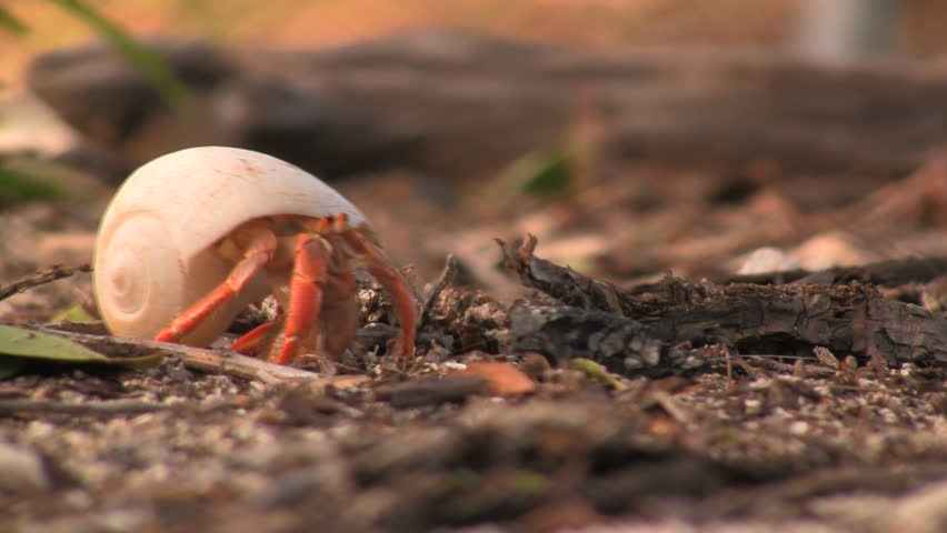 Hermit crab on dry tortuga garden key off the coast of key west